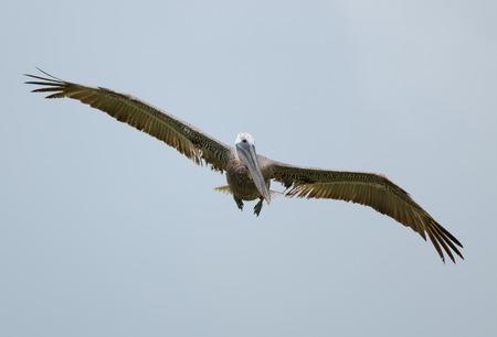 Brown Pelican  Pelecanus occidentalis  flying