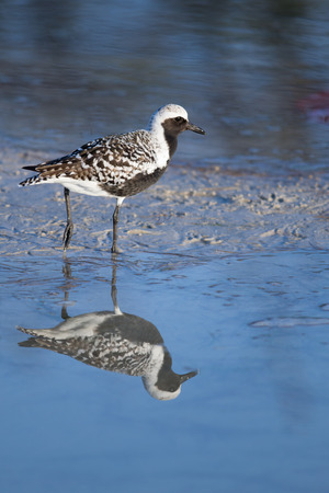 Black-bellied Plover  Pluvialis squatarola  water reflection, Fort Myers Beach, Florida  Stock Photo