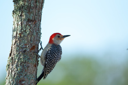 Red-Bellied Woodpecker on a tree at Lakes Park, Fort Myers