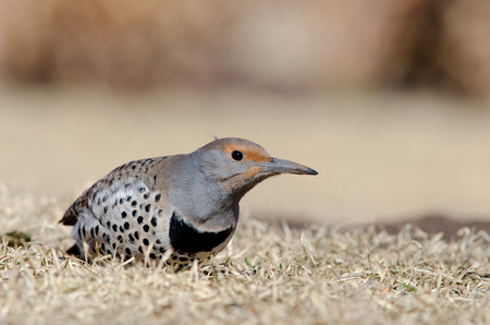 Female red-shafted Northern flicker, low angle photograph take at Denver Colorado city park
