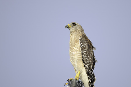 accipitridae: Buteo jamaicensis, member of the Accipitridae family, standing on post in Fort Myers, Florida