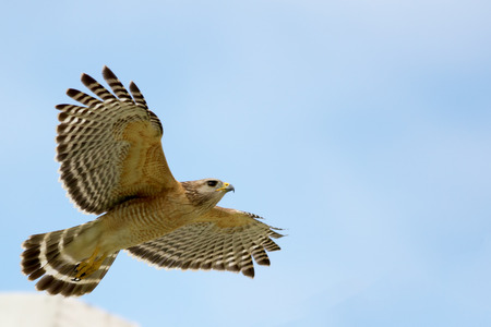 Red Shouldered Hawk soaring through the air, spring time Southwest Florida   Stock Photo