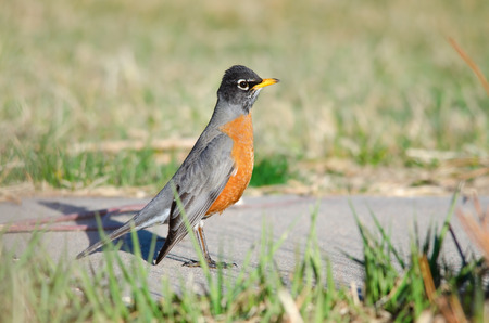 turdidae: American robin standing on the sidewalk in a park located in Denver, Colorado