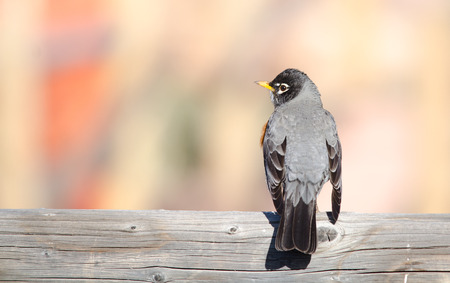 Back view of an American robin with blurred background  State bird of Michigan, Wisconsin and Connecticut