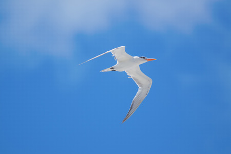 Royal Tern  Thalasseus maximus  flying on a bright sunny blue sky day