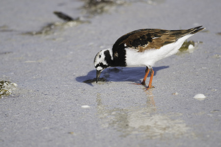 Ruddy Turnstone  Arenaria interpres  member of the Scolopacidae family, pecking at the beach shore of Fort Myers Beach, Florida