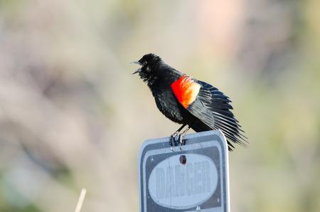 Red-winged blackbird singing on danger sign