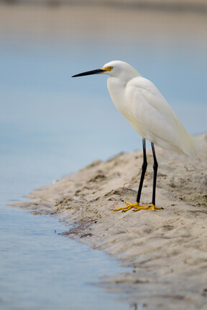 Snowy Egret on shore of Estero Lagoon, Fort Myers Beach, Florida   Banque d'images