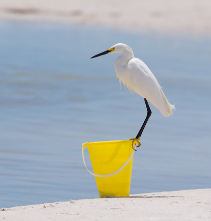 Snowy Egret standing on yellow sand bucket at beach