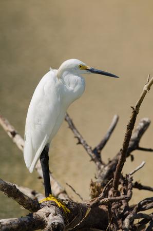 Snowy egret posing on tree branch, Fort Myers, Florida  Zdjęcie Seryjne