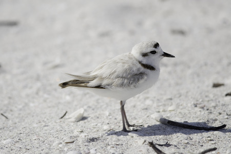 The rare and threathened Snowy Plover, Fort Myers Beach, Florida