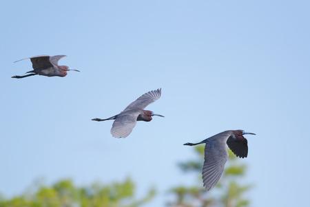 La trajectoire de vol d'un adulte Aigrette bleue Banque d'images - 27460367