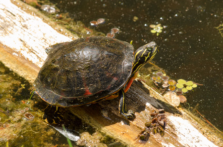 A wild Florida Redbelly turtle sitting on a log in a cypress swamp