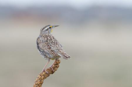 Vue arrière d'un oiseau perché Western Meadowlark État du Kansas, le Montana, le Nebraska, le Dakota du Nord, l'Oregon et le Wyoming Banque d'images - 27460371