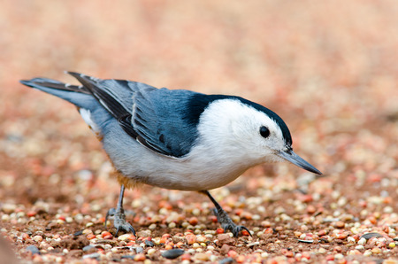 Close-up of a white-breasted nuthatch standing on bird seed