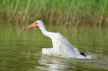 White Ibis playing in water, Fort Myers, Florida