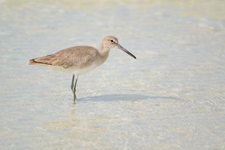 Willet à Fort Myers Beach, en Floride, la lagune Estero Banque d'images - 27460384