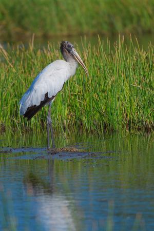 ciconiiformes: Wood stork in natural habitat, southwest Florida