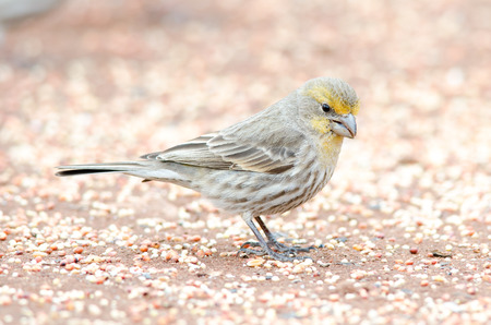 House finch in yellow plumage, winter time, Colorado