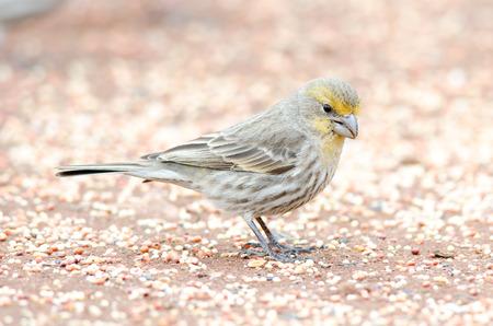 Roselin en plumage jaune, l'heure d'hiver, Colorado Banque d'images - 27460387