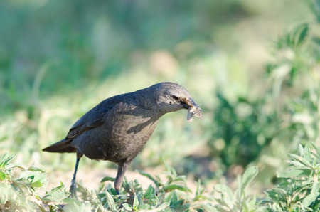 Brewer s blackbird with an insect in mouth