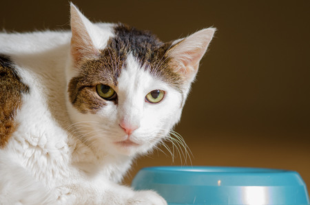 A white, indoors, domestic shorthaired cat laying down by her food bowl