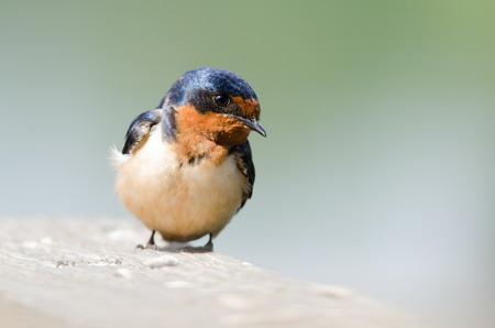 Close up portrait of a Barn Swallow, Lakewood, Colorado