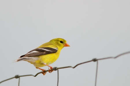 Female american goldfinch perching on fence.