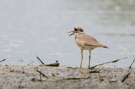 Killdeer on lakeshore in Colorado, summer time   Banque d'images