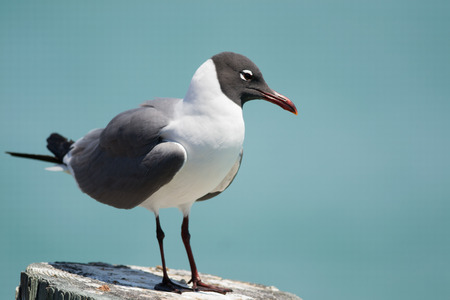 Laughing gull standing on dock post in Florida