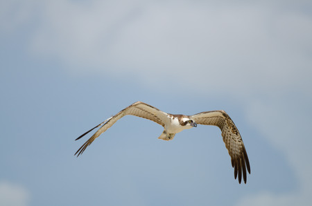 Osprey in mid-air with wings wide open Banque d'images