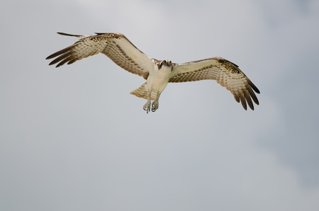 Osprey with open wing span and blue sky  Banque d'images