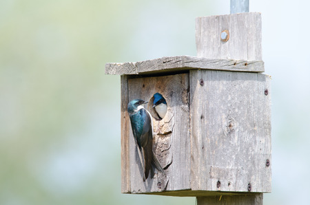 A couple of tree swallows in a nesting box Stock Photo