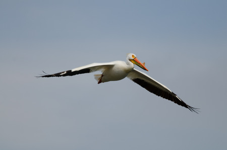 American white pelican flying high in the sky
