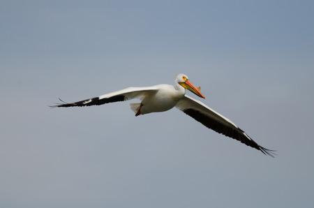 Pélican d'Amérique de voler haut dans le ciel Banque d'images - 29491208