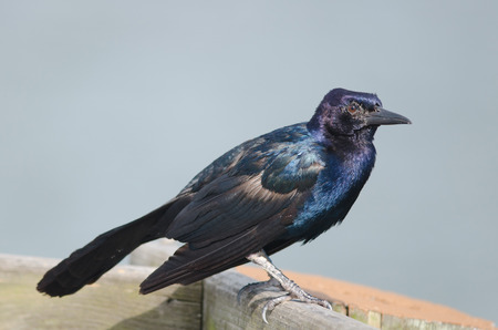Close-up of a Boat-tailed grackle perched on wooden railing Stock Photo