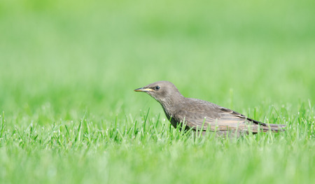 Side view of European starling standing in grass