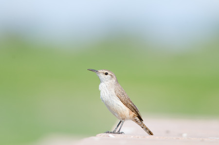 Close-up eye level view of a rock wren on a stone wall, Colorado, United States Standard-Bild