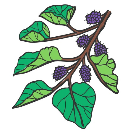 Mulberry- Illustration Illustration
