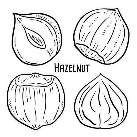 Hand drawn illustration of Hazelnut.