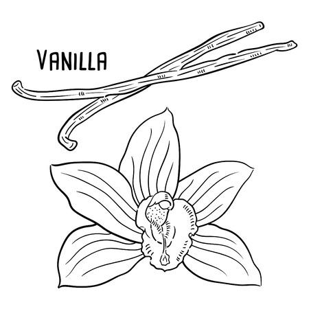 Hand drawn illustration of Vanilla. Illustration