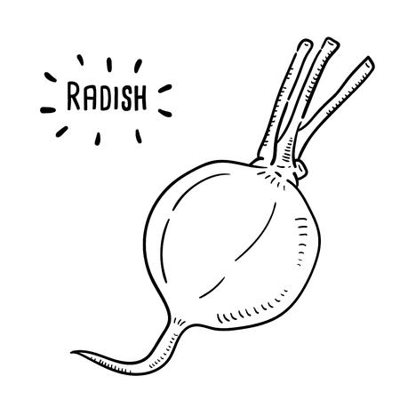 Illustration dessinée à la main de radis. Vecteurs