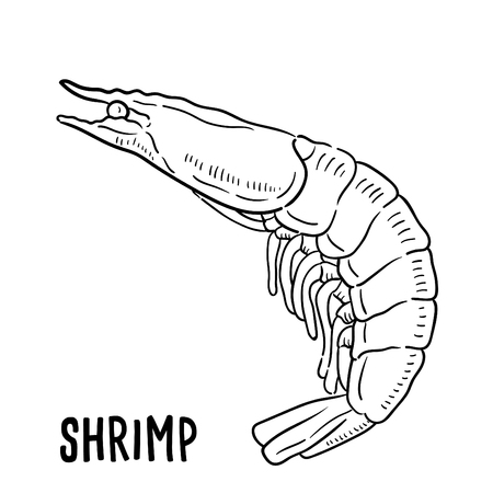 Hand drawn illustration of Shrimp.