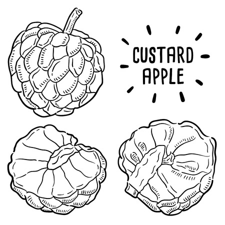 Hand drawn illustration of Custard apple. Illustration