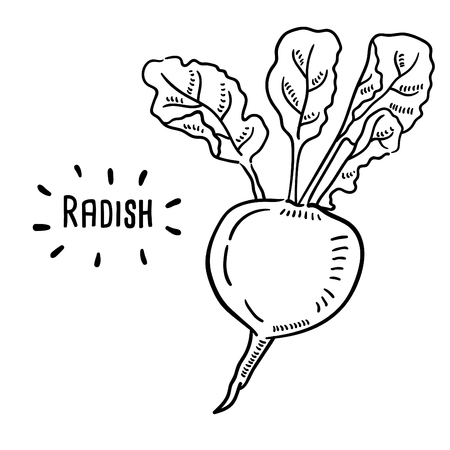 Hand drawn illustration of Radish.