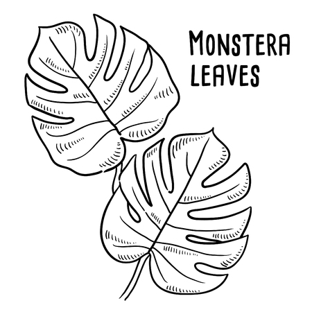 Hand drawn illustration of Monstera Leaves. Vectores