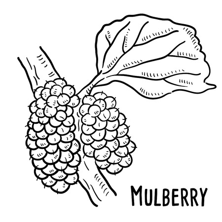 Hand drawn illustration of Mulberry. Illustration