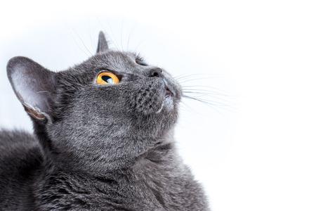 British cat on white background