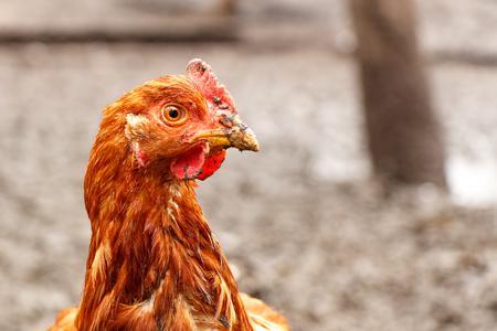 Head of a red home chicken close-up. The beak is smeared in the mud.