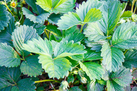 Green fresh beautiful strawberry leaves